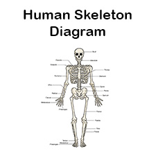 graphic regarding Printable Skeleton Parts called Printable Human Skeleton Diagram - Classified, Unlabeled, and Blank