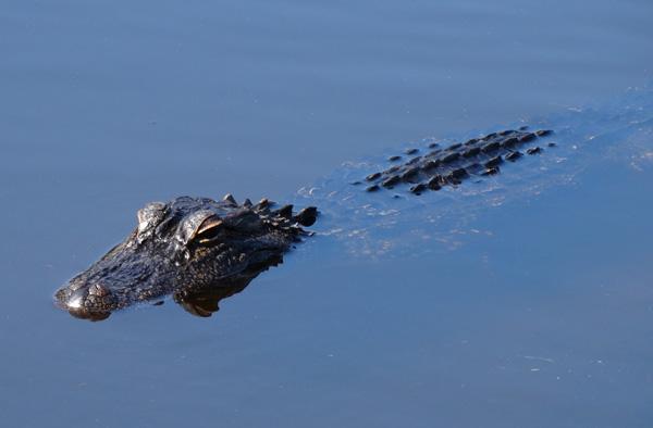 alligator facts for kids