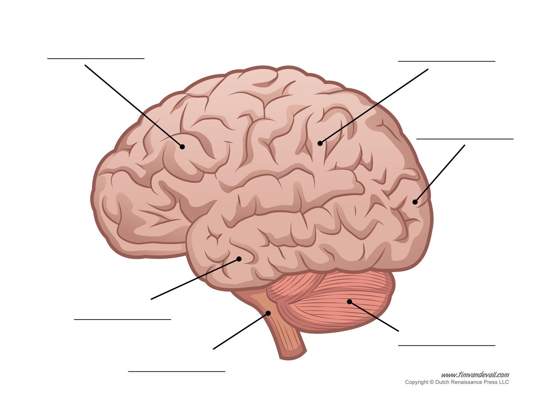 Human Brain Anatomy Quiz Anatomy of The Human Brain