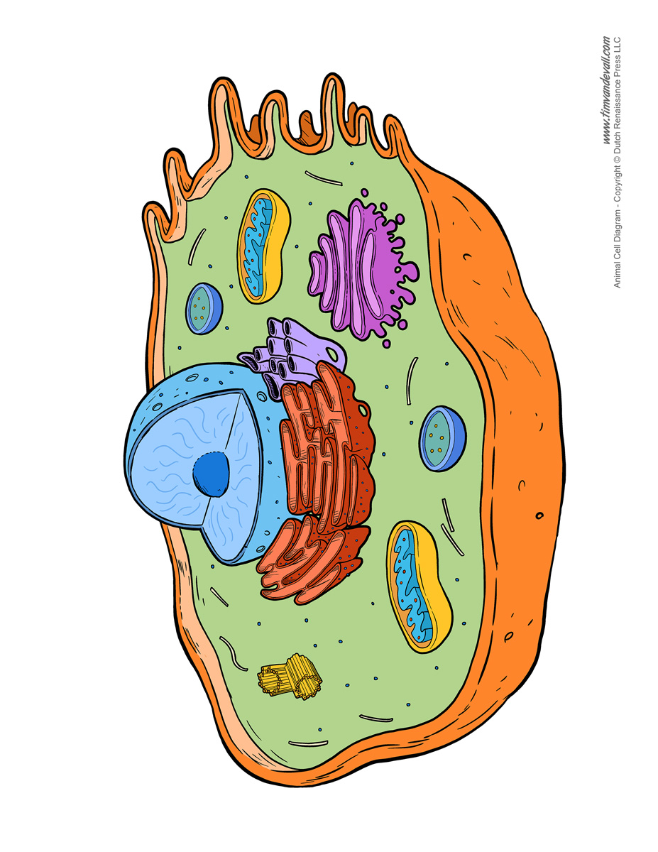 Animal cell diagram unlabeled tims printables animal cell diagram unlabeled robcynllc Choice Image