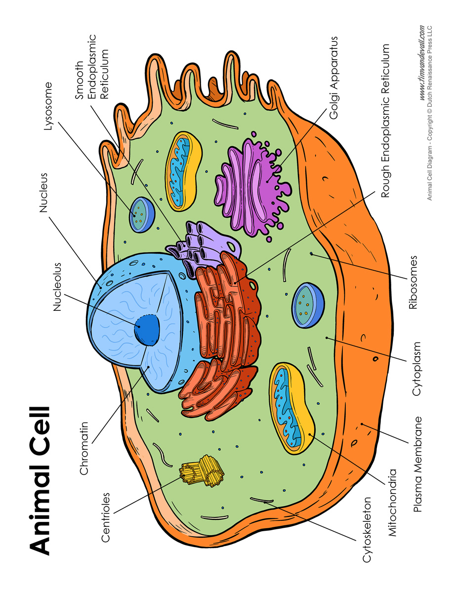 Animal Cell Diagram - Labeled