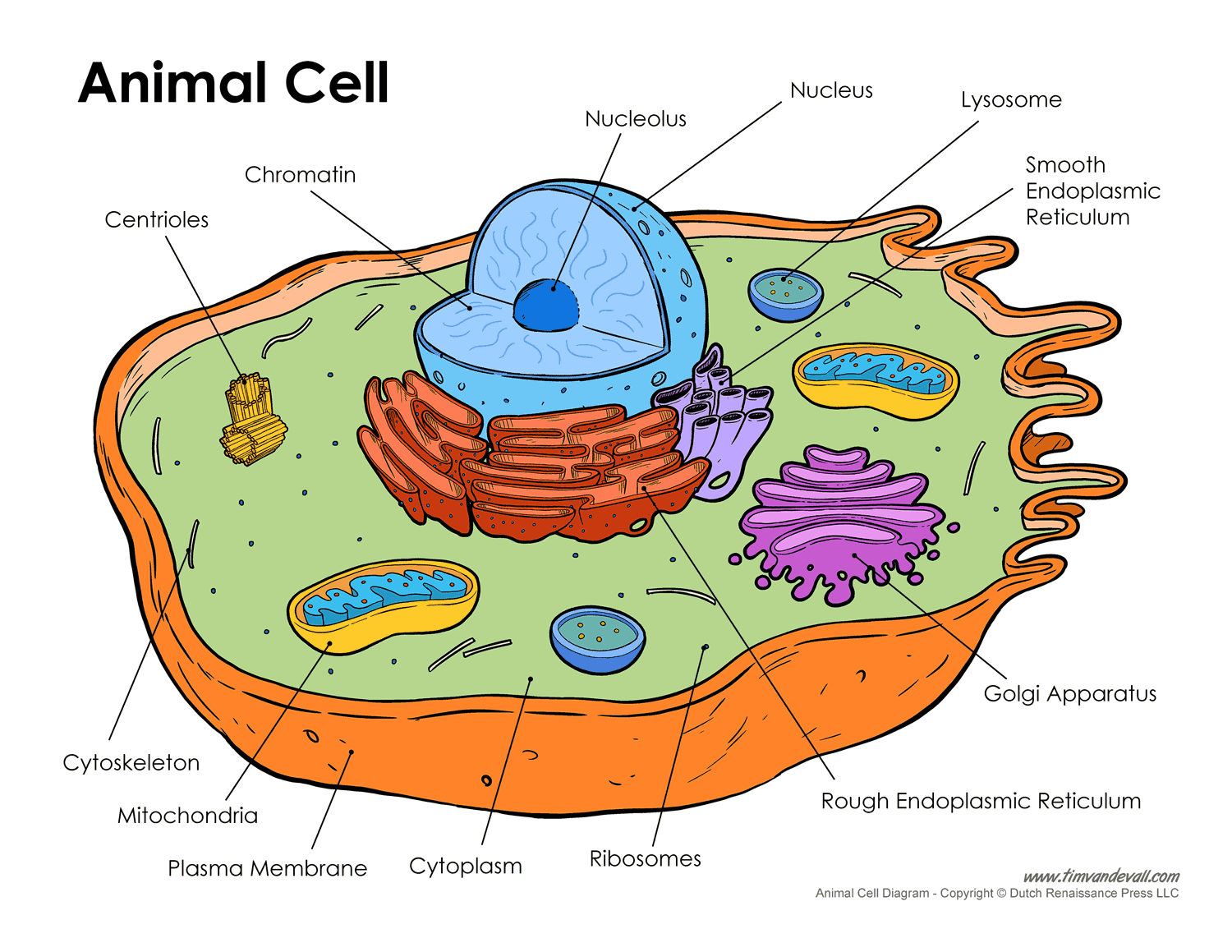 Human Cell Diagram Labeled