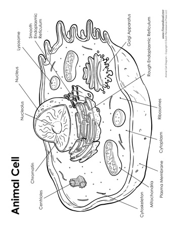 Animal Cell Diagram - Labeled - Tim's Printables