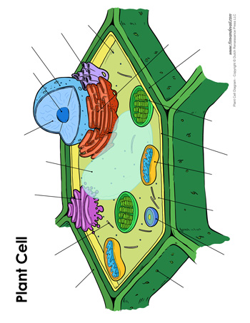 Blank Plant Cell Diagram - Tim van de Vall