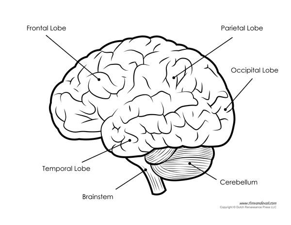 Diagram of the human brain labeled