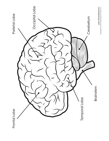 Brain Diagram Labeled Bw Tims Printables