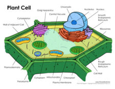 plant cell diagram