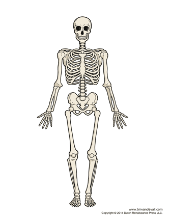 human bones diagram