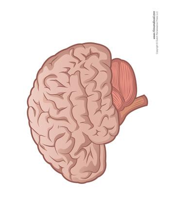 Brain Diagram - Blank - Tim's Printables