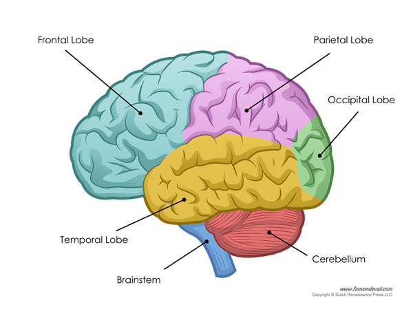 Tim van de Vall — Human Brain Diagram - Labeled, Unlabled, and Blank
