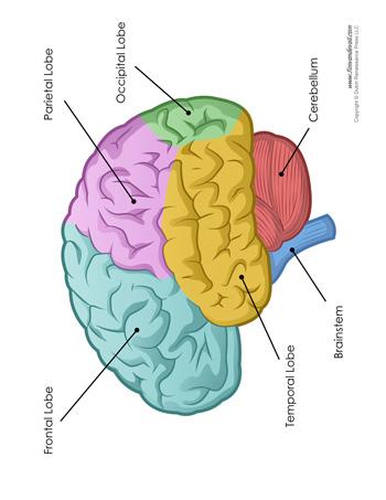Brain Diagram - Labeled - Color - Tim's Printables