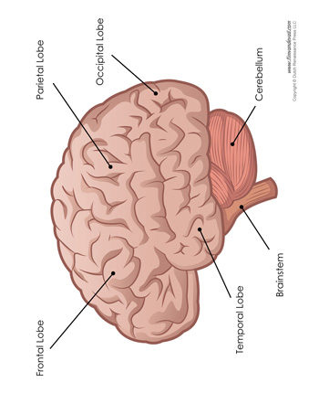 Brain diagram labeled tims printables brain diagram labeled ccuart Choice Image