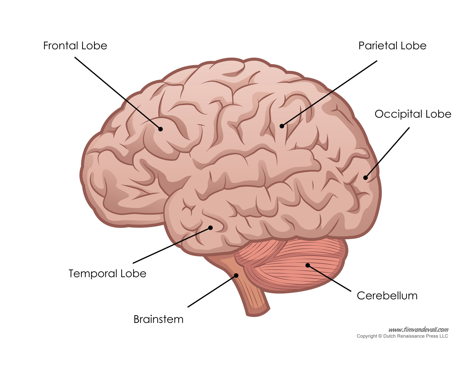 Brain Diagram - Labeled - Tim's Printables