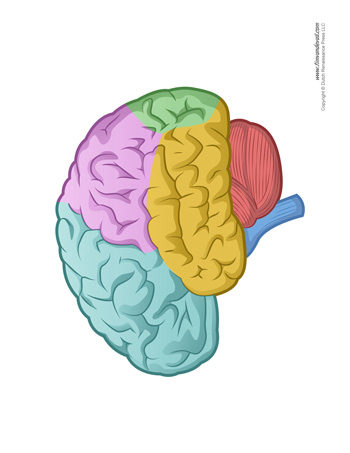 Blank Brain Diagram In Color - Wiring Library •