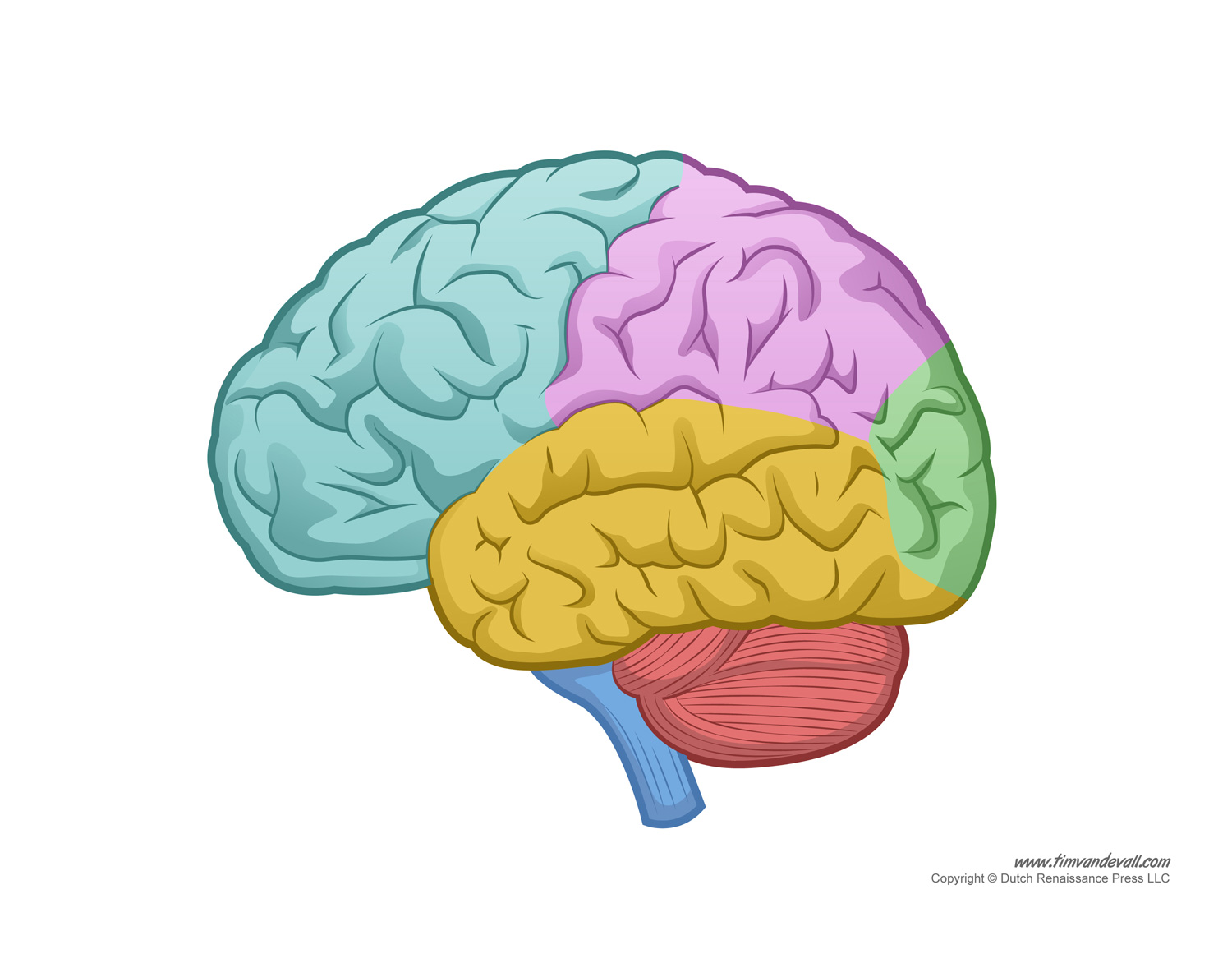 Human Brain Lobes Diagram Unlabeled - Online Schematic Diagram •