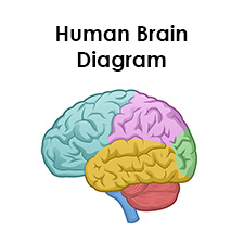 human brain diagram labeled unlabled and blank Simple Ear Diagram for Kids