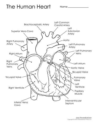 photo about Printable Heart Diagram titled Free of charge Printable Center Diagram for Young children - Categorised and Unlabeled