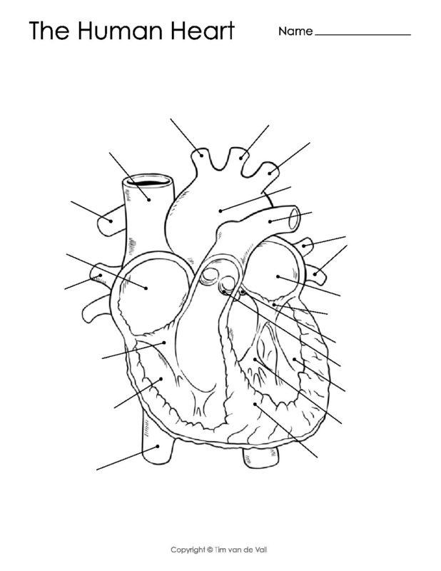 Printable Diagram Of The Human Heart Pdf Worksheet Manual Guide