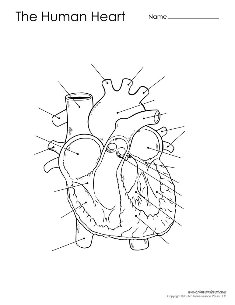 human heart diagram - unlabeled