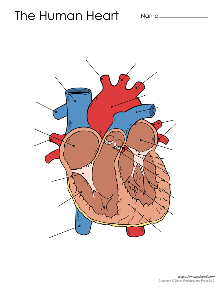 Human Heart Diagram - Unlabeled - Tim's Printables