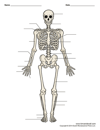 Printable Human Skeleton Diagram – Labeled, Unlabeled, and Blank