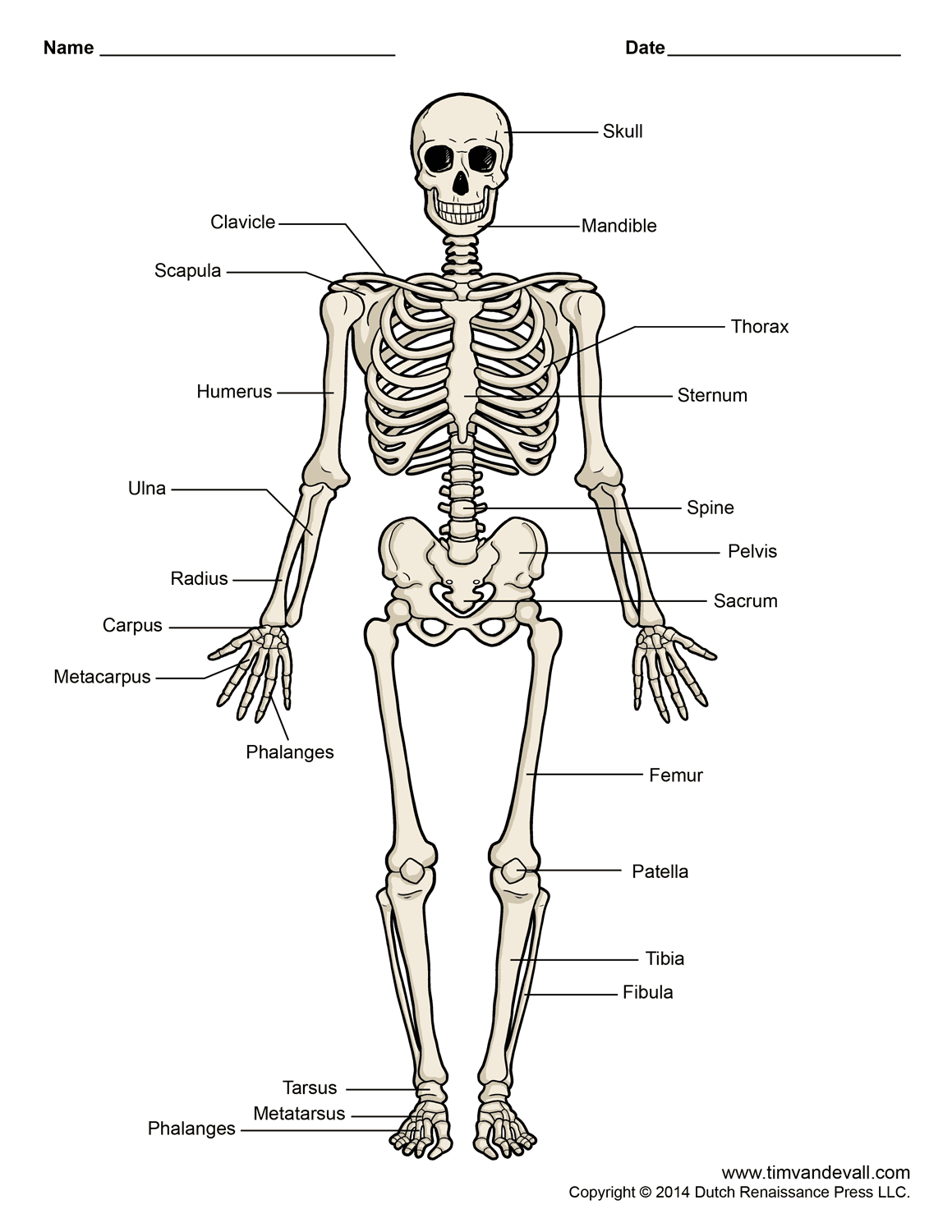 human-skeleton-diagram - tim van de vall, Skeleton