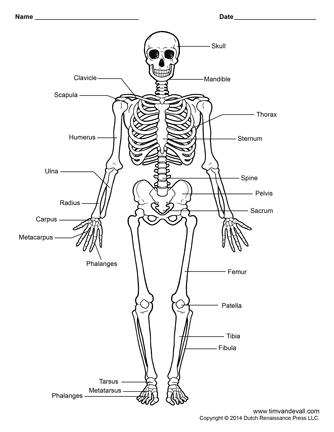 human skeleton printable