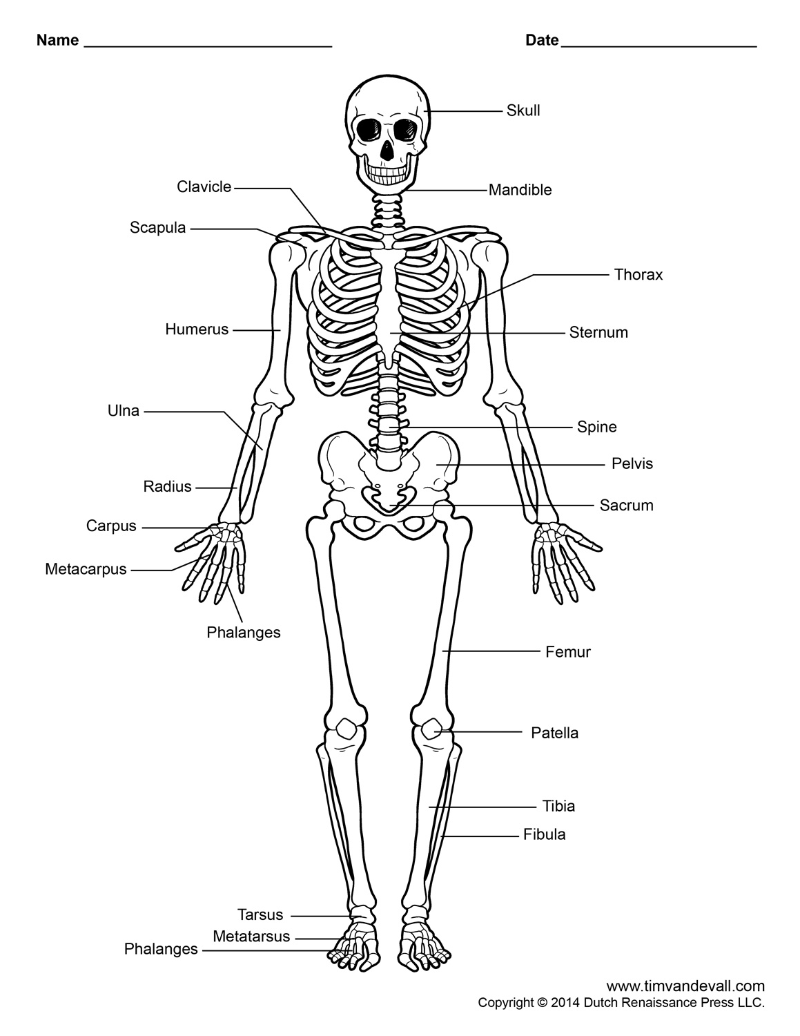 Printable Human Skeleton Diagram Labeled Unlabeled And Blank