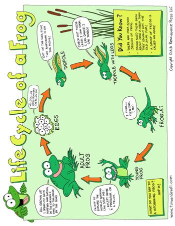 Life Cycle of a Frog Tim 39 s Printables