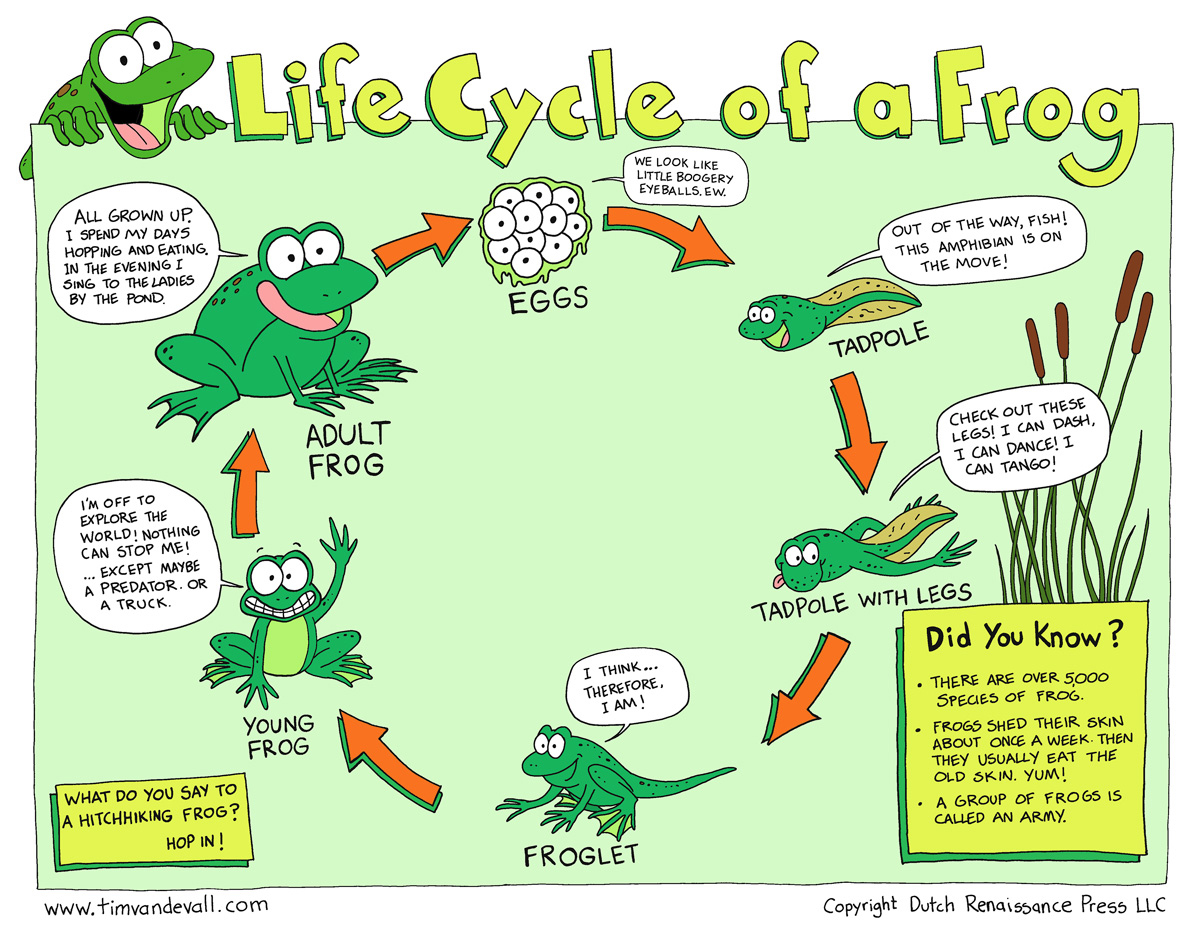 Life Cycle of a Frog - Tim's Printables - photo#25