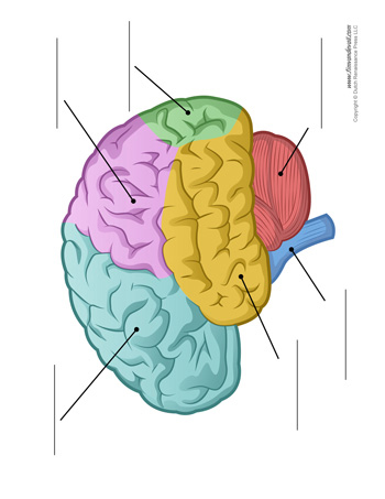 Brain Diagram - Unlabeled - Color - Tim's Printables