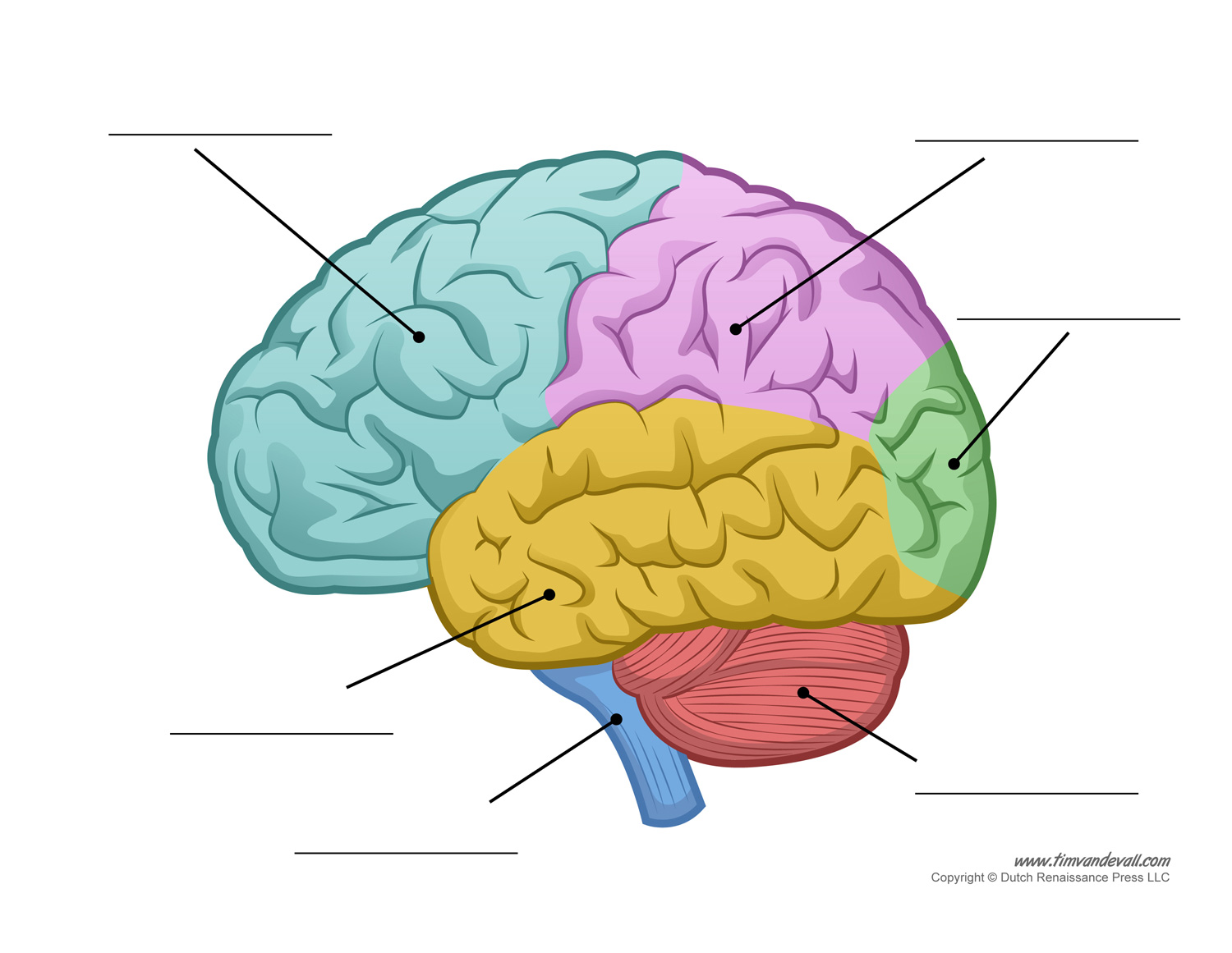 Human Brain Diagram - Labeled, Unlabled, and Blank