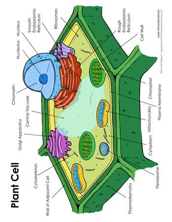 Plant Cell Diagram - Tim's Printables