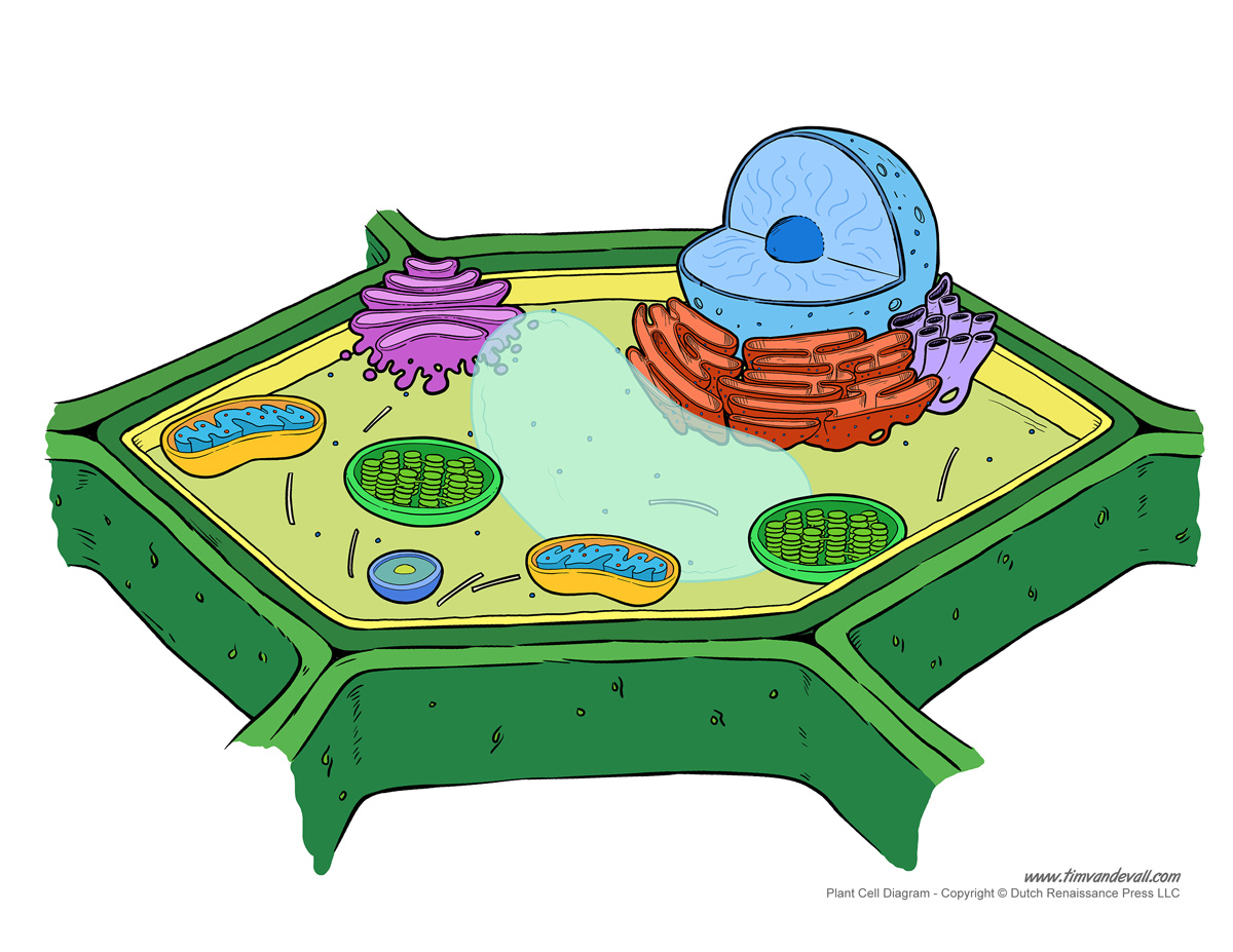 Plant Cell Diagram - Unlabeled - Tim van de Vall