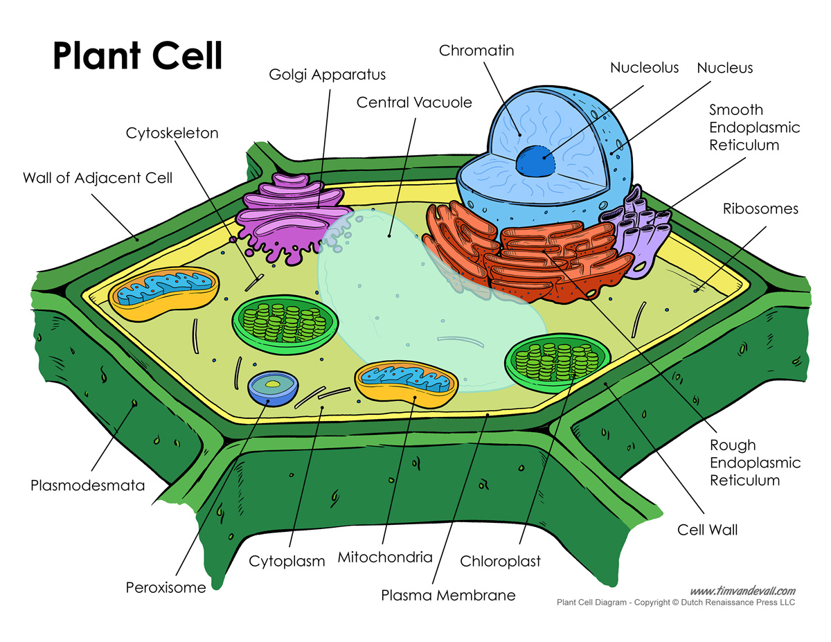 Parts Of A Plant Cell Diagram