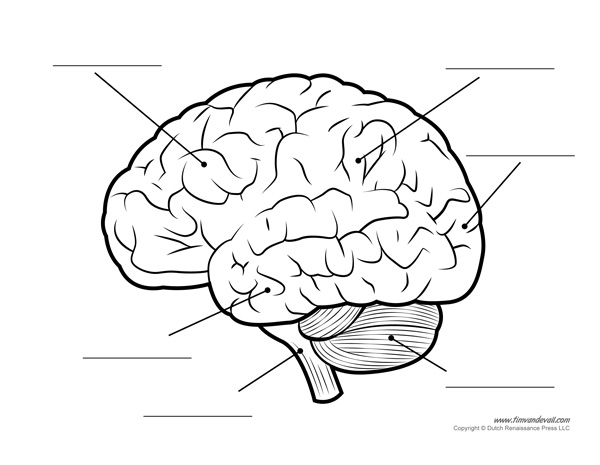 Human Brain Diagram – Labeled, Unlabled, and Blank – Tim's ...