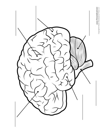 brain diagram - unlabeled - bw